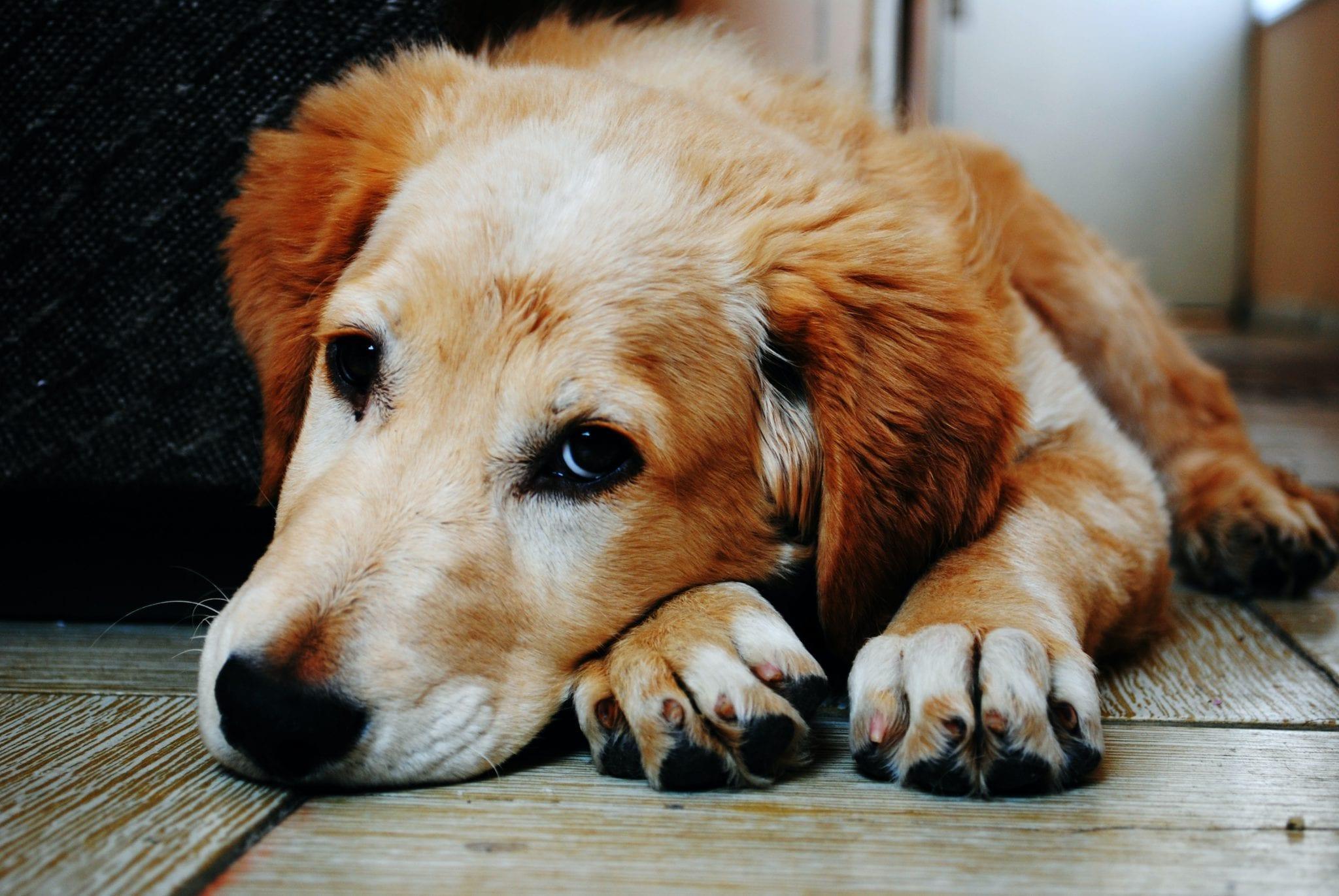 Hond - Lingehoeve Diergeneeskunde