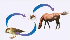 West Nijl Virus - Lingehoeve Diergeneeskunde
